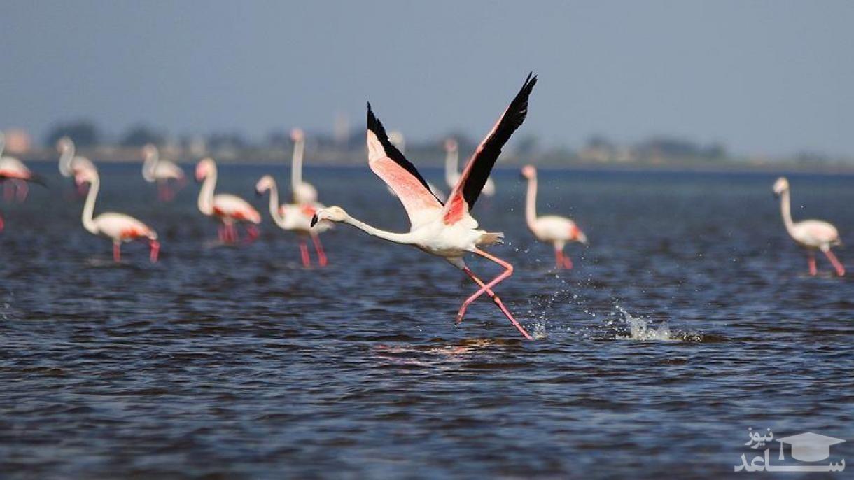 (عکس) پرواز فلامینگوهای خوش رنگ مهاجر