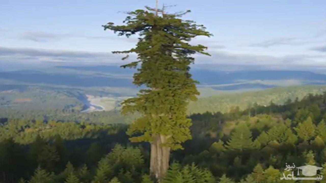 (فیلم) بلندترین درخت دنیا در شمال کالیفرنیا