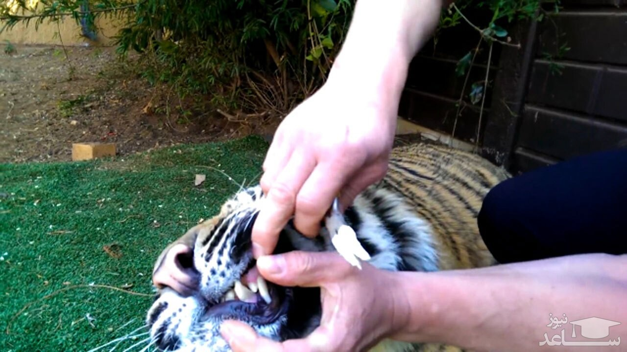 (فیلم) کشیدن دندان یک ببر با روشی دیوانهوار!