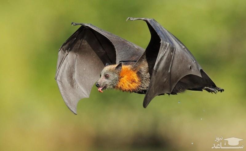 ویروس کرونا چگونه از خفاش به انسان منتقل میشود؟