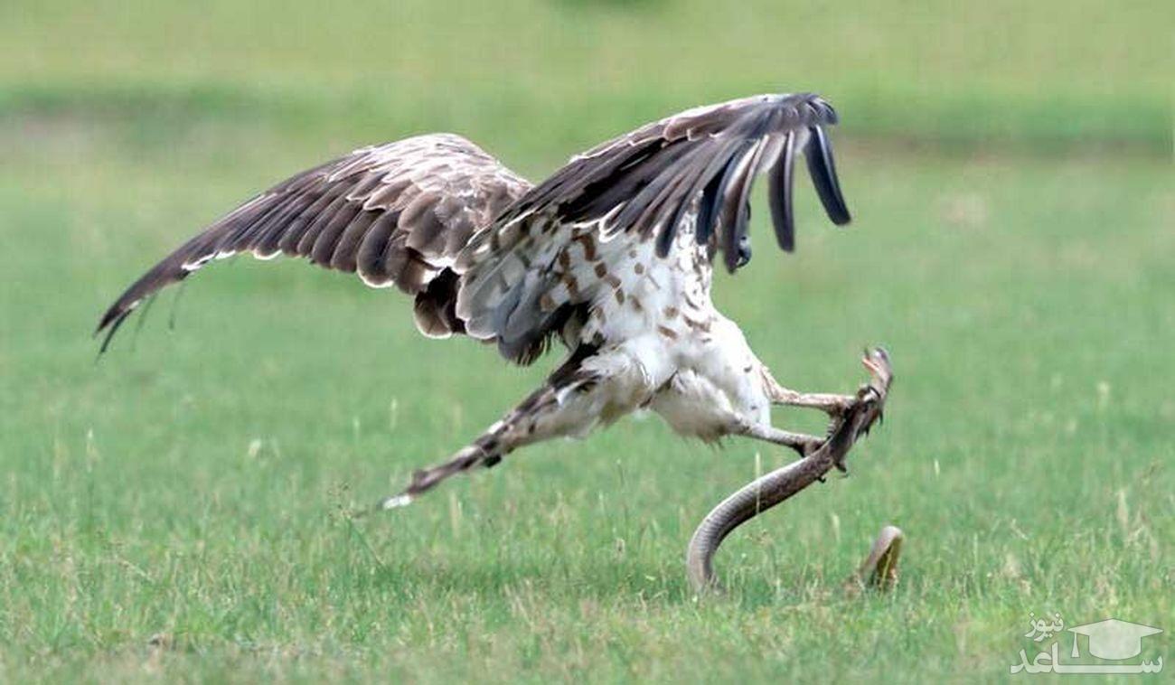 مار باهوشی که یک عقاب را شکار کرد!!