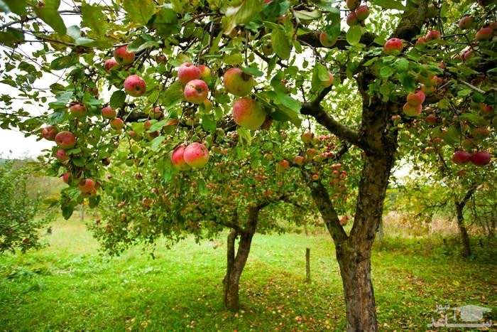 گیاه سیب (نگهداری + پرورش)