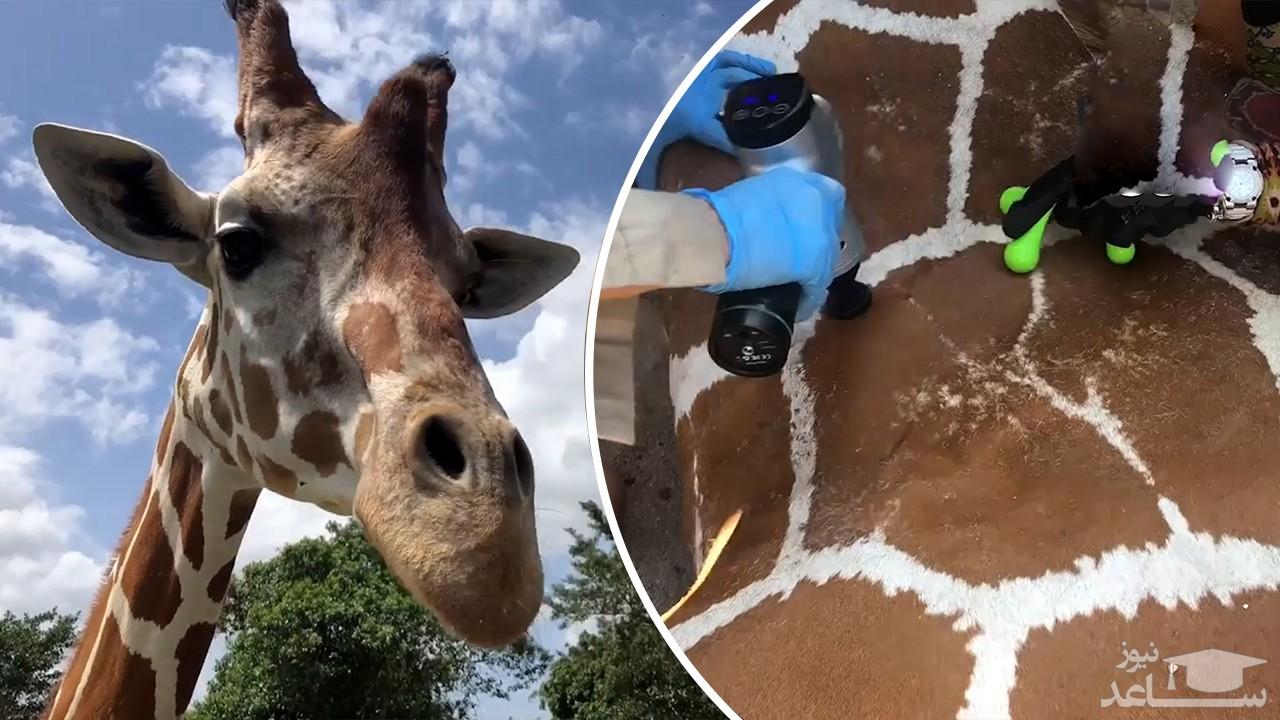 (فیلم) ویدئویی از تیمار کردن و رسیدگی به یک زرافه چهار متری در باغ وحش
