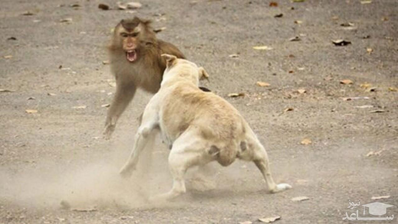 (فیلم) درگیری وحشیانه یک میمون با سگ