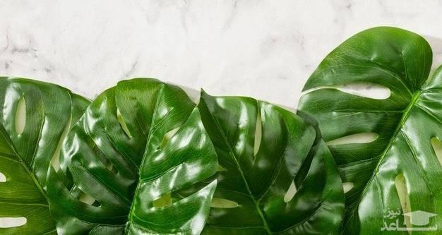 گیاه فیلودندرون (نگهداری + پرورش)