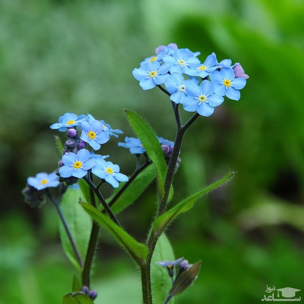 گل فراموشم نکن (نگهداری + پرورش)