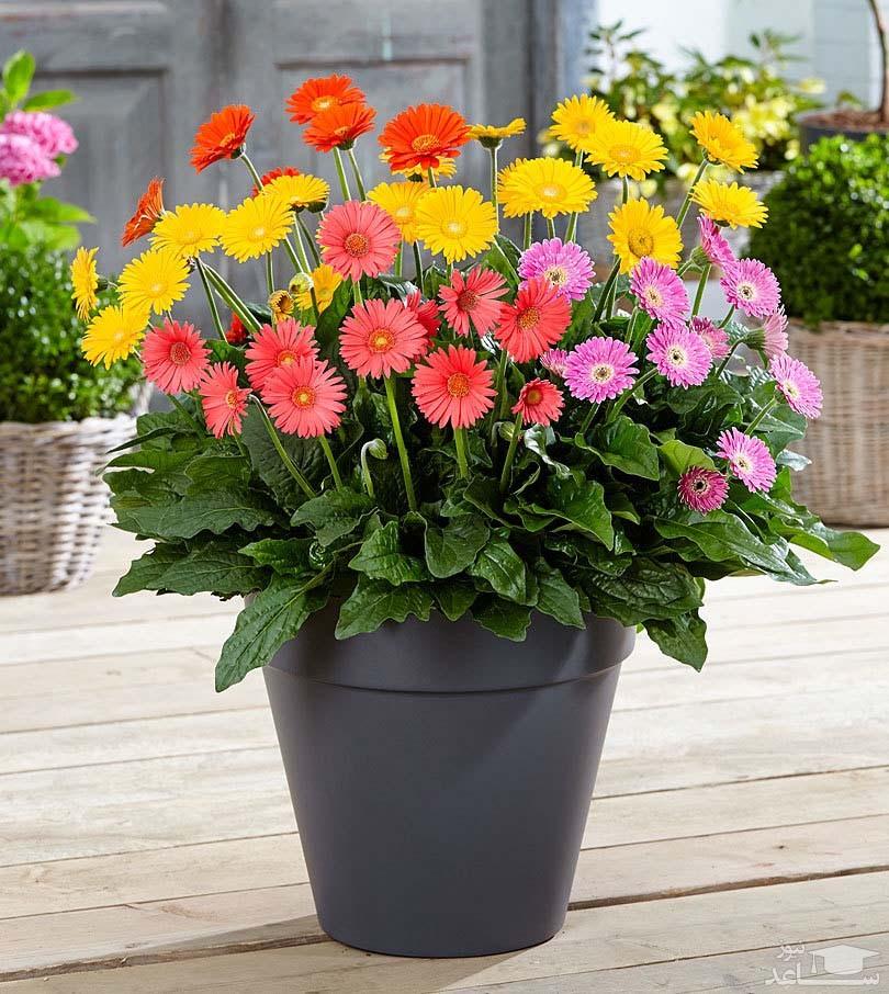 گل ژربرا (نگهداری + پرورش)