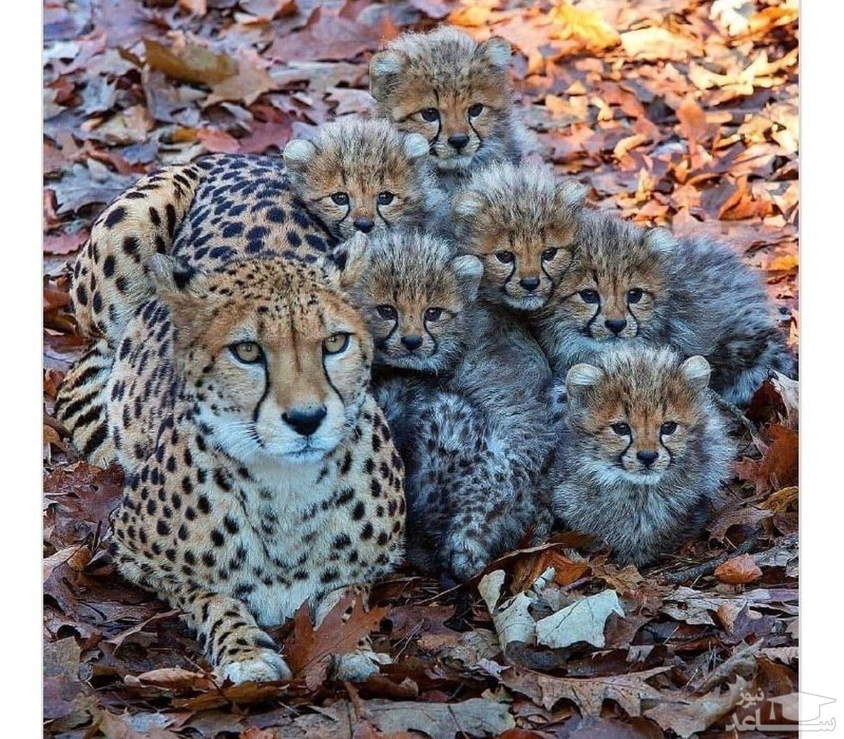 یوزپلنگ ها و مادرشان