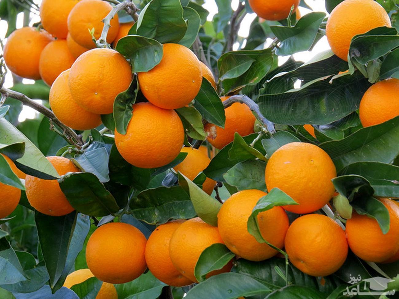 از پرتقال 2 هزار تومانی کشاورزان تا پرتقال 20 هزار تومانی بازار!
