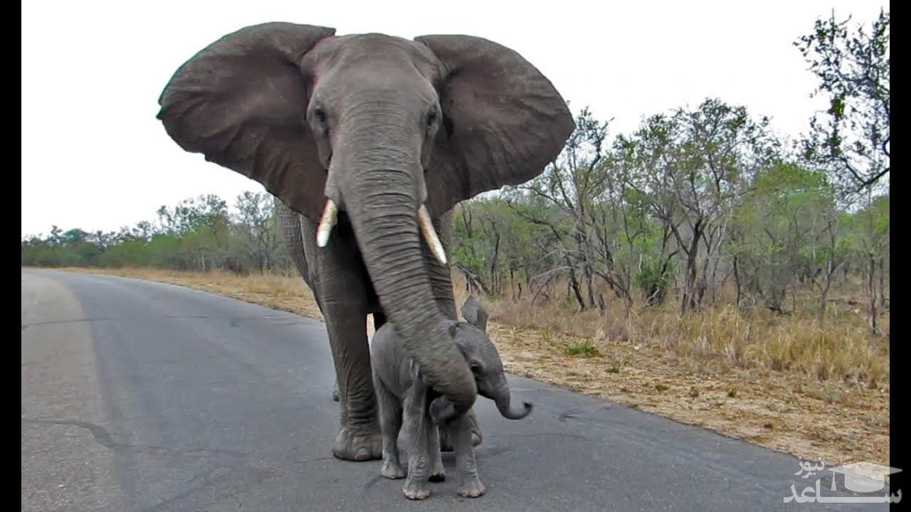 (عکس)  فیل گرسنه ترافیک راه انداخت