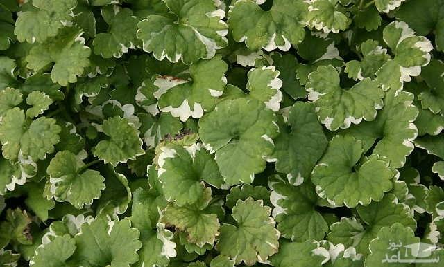 گل گلکوما (نگهداری + پرورش)