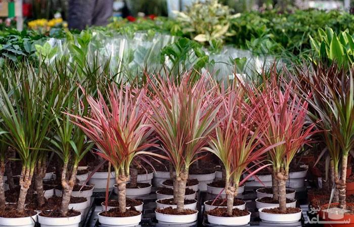 گیاه دراسنا (نگهداری + پرورش)