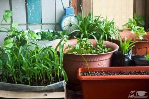 گیاه تره (نگهداری + پرورش)