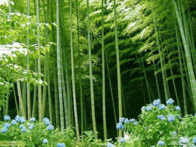 گیاه بامبو (نگهداری + پرورش)