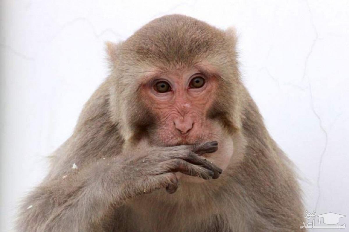 (تصاویر) جشنواره عجیب بوفه میمونها