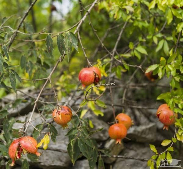 درخت انار (نگهداری + پرورش)