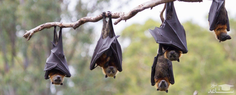 عکسی از یک خفاش به اندازه انسان همه را وحشت زده کرد