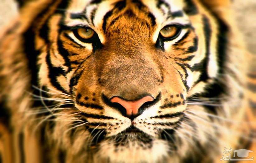 رفتار جالب ببر در باغ وحش