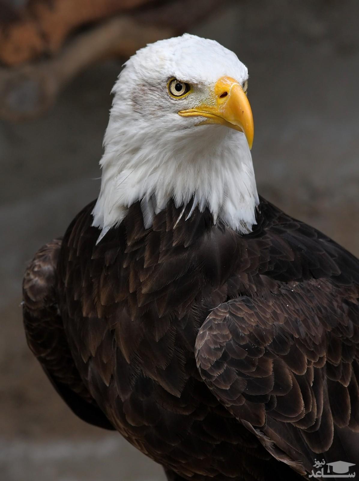 (عکس) سواری گرفتن از عقاب