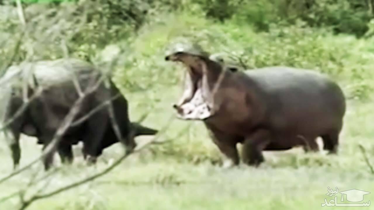(فیلم) مجازات سخت ورود بوفالو به قلمرو اسب آبی