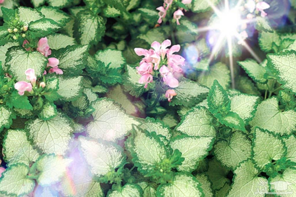 گل لامیوم (نگهداری + پرورش)