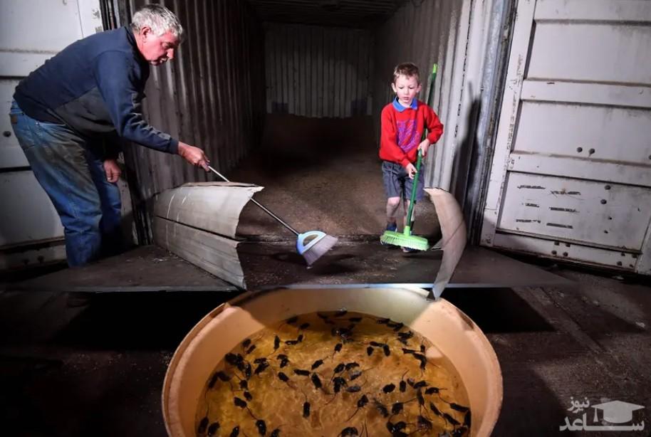 جمع کردن موش از تله