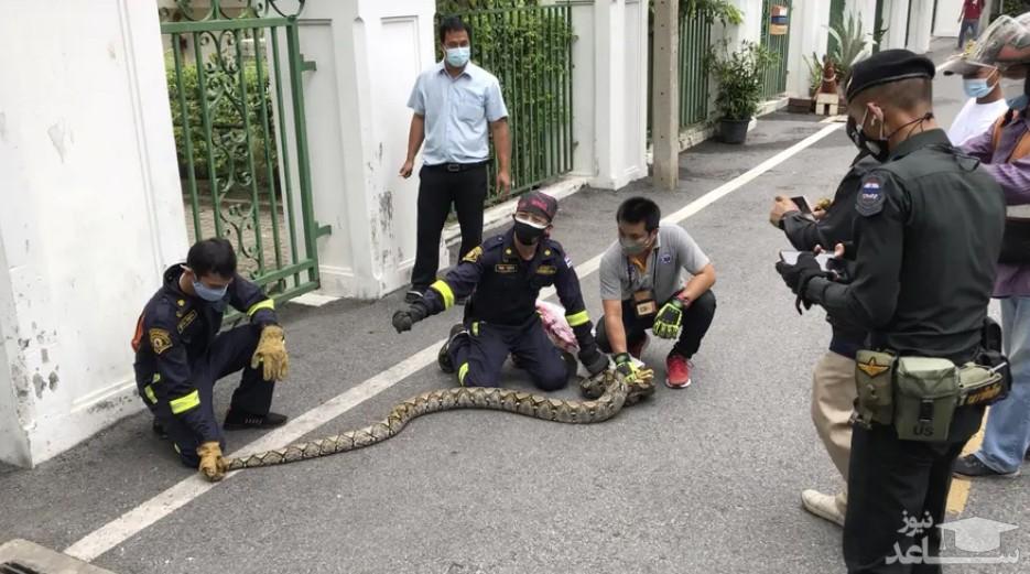 گرفتن یک مار پیتون بزرگ در پارکی در شهر بانکوک تایلند