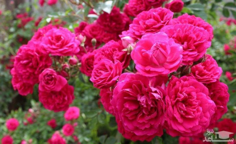 با فواید و مضرات گل محمدی بیشتر آشنا شوید
