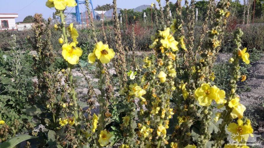 گل ماهور (نگهداری + پرورش)