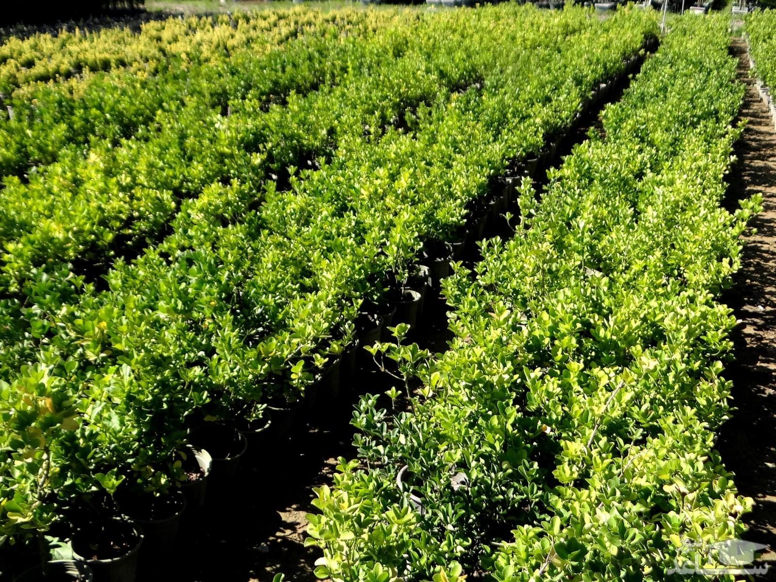گیاه شمشاد ژاپونیکا (نگهداری + پرورش)