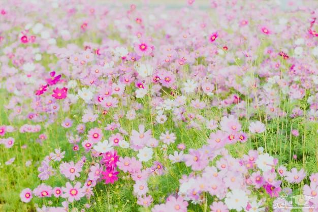 گل ستاره ای (نگهداری + پرورش)