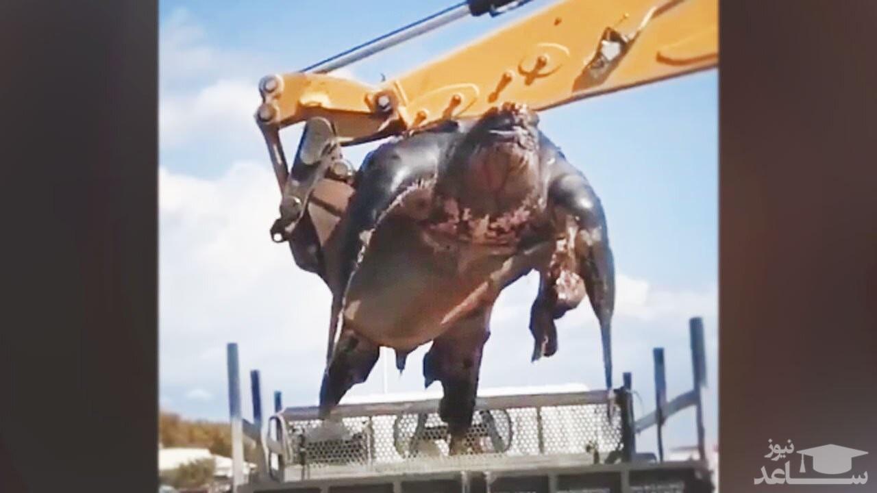 (فیلم) حمل بزرگترین لاک پشت جهان با جرثقیل