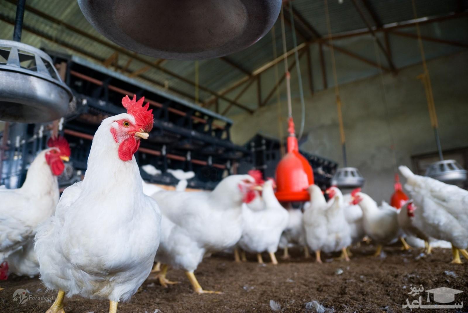 دلیل گران شدن غیرمنتظره مرغ چیست؟