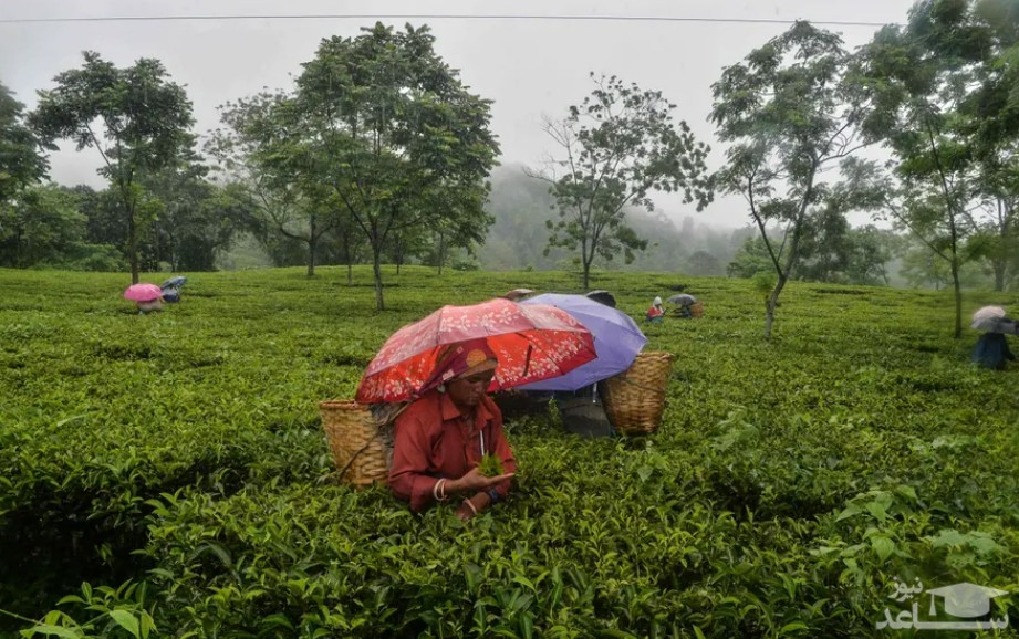 برداشت برگ سبز چای