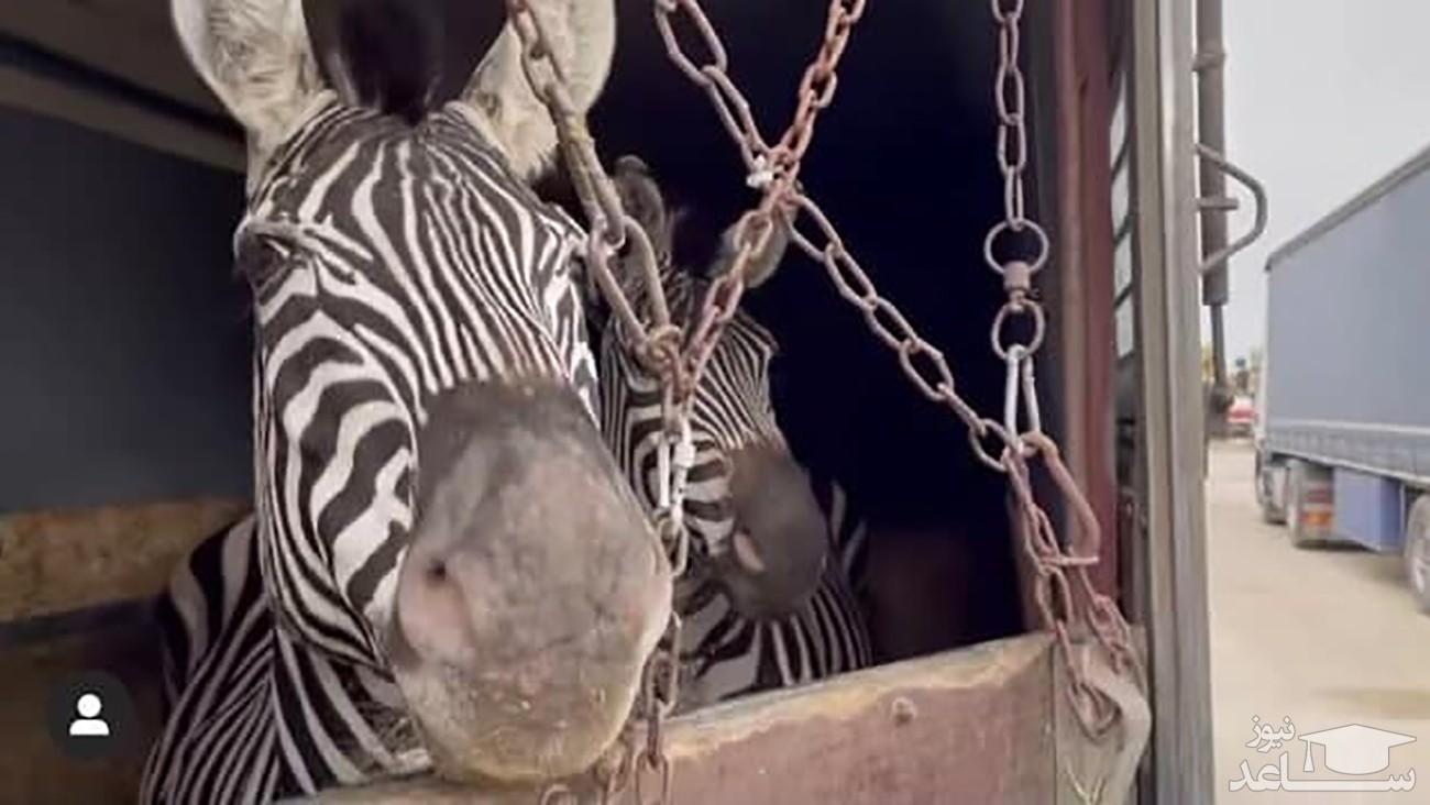 (فیلم) استقبال با کتک از ۳ گورخر آفریقایی در بدو ورود به ایران