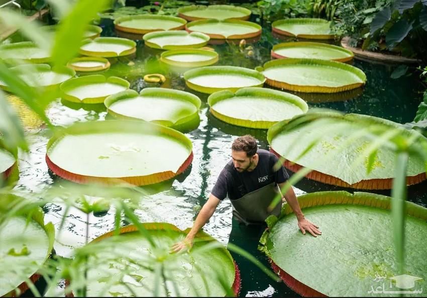 """بزرگ ترین گونه سوسن های آبی جهان در باغ گیاه شناسی"""" کیو"""" در غرب لندن/ PA"""