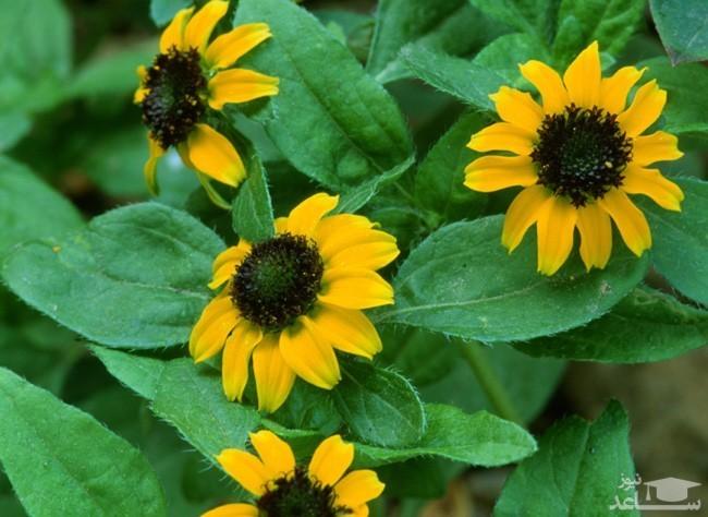 گل آهار خزنده (نگهداری + پرورش)