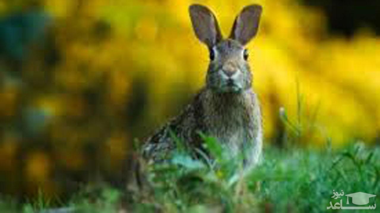 (فیلم) واکنش حیرت آور خرگوش برای فرار از چنگال عقاب