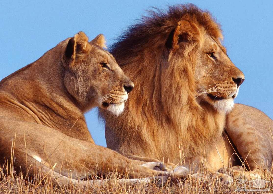 (فیلم) شکار لحظه مرگ طبیعی یک شیر در جنگل