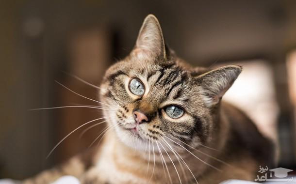 آرتروز در گربه