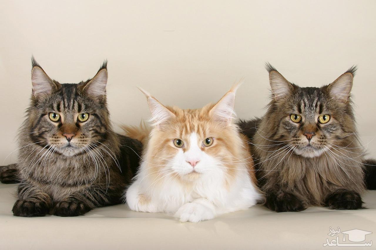 نحوه تشخیص نر و ماده بودن گربه