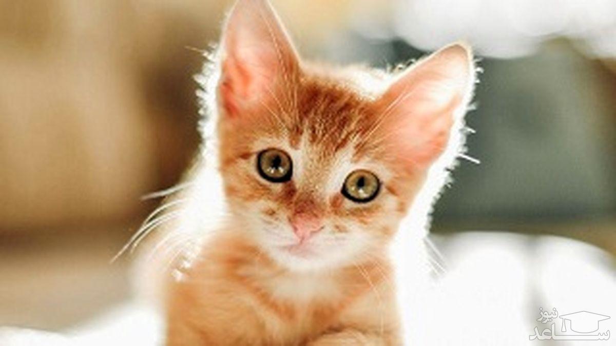 (فیلم)واکنش حیرتانگیز یک گربه و محافظت جانانه از چند جوجه