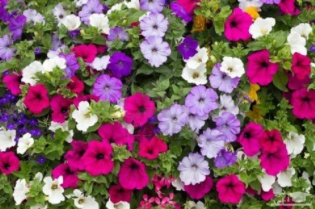 گل اطلسی (نگهداری + پرورش)