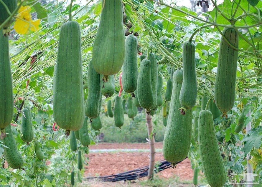 گیاه لوفا (نگهداری + پرورش)