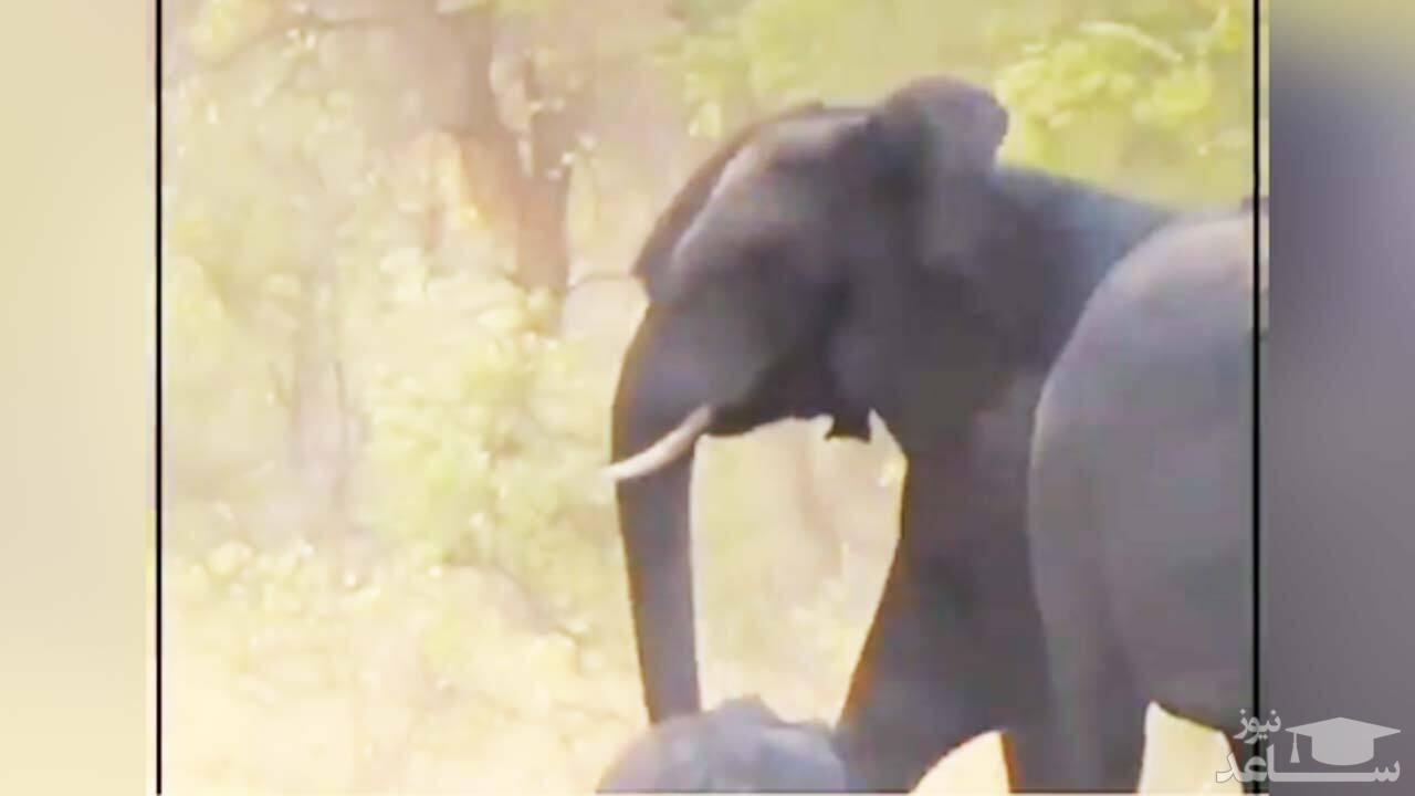 (فیلم) تلاش دسته جمعی یک گله فیل برای نجات بچه فیل نیمه جان