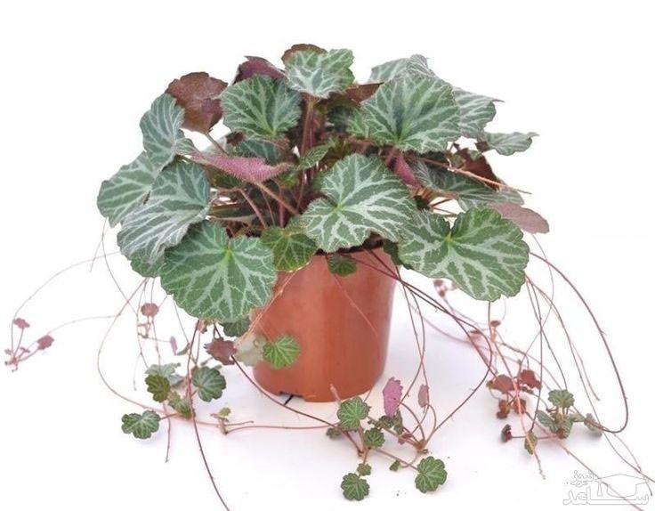 گل ساکسی فراگا (نگهداری + پرورش)