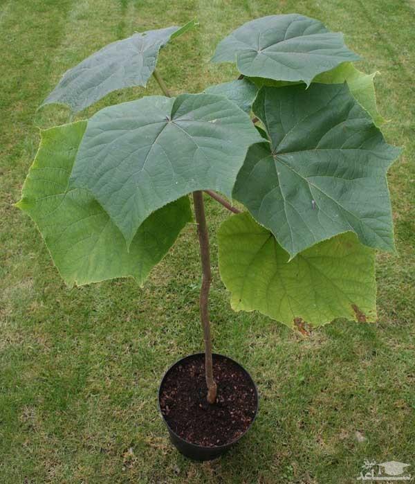 گیاه پالونیا (نگهداری + پرورش)