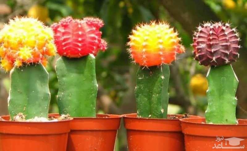 کاکتوس های گل دار (نگهداری + پرورش)