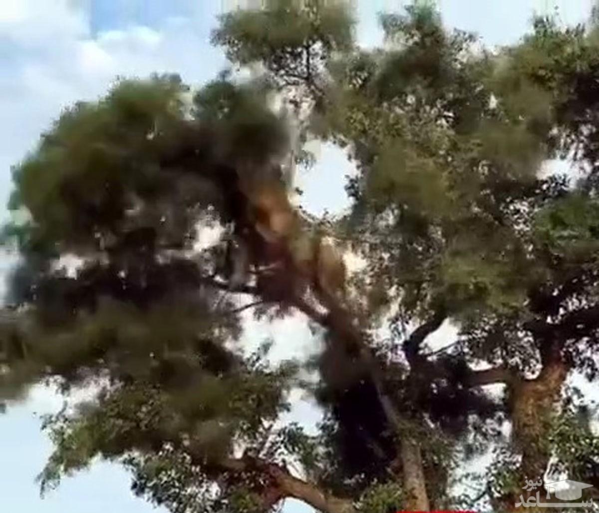 (فیلم) تلاش جالب شیر برای دزدی از پلنگ!