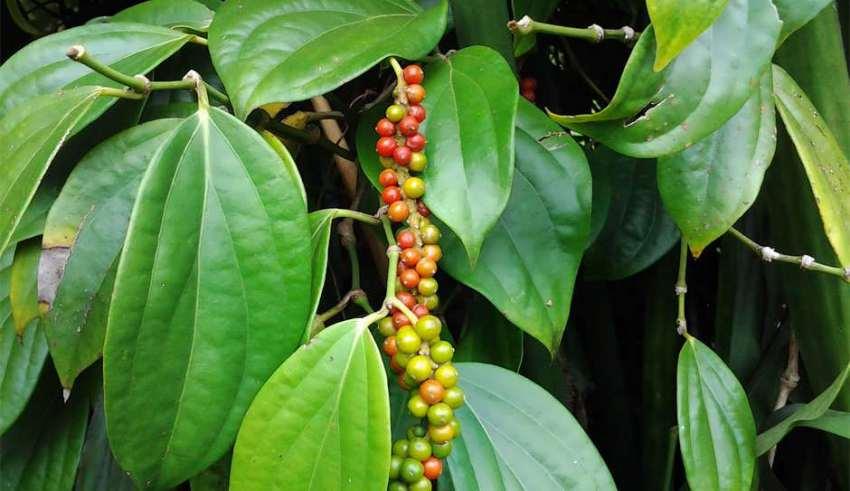 گیاه فلفل سیاه (نگهداری + پرورش)